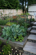 Raised vegetable beds, cabbages